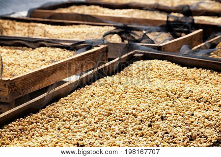 Fresh crop of arabica coffee beans drying in the sun on wooden pallets.