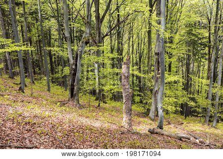 Trees in greenwood - leafy trees. Greenwood