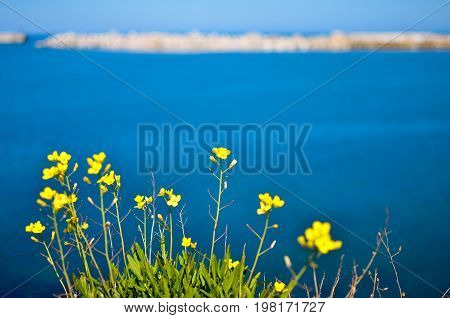 Yellow flowers on the steep bank of the Sevastopol bay of the Black Sea of the Crimea. 2017
