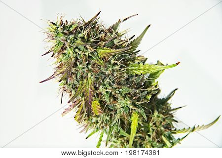 Top bud of green mature cannabis female plant with leaves and lot of trichomes on white background.