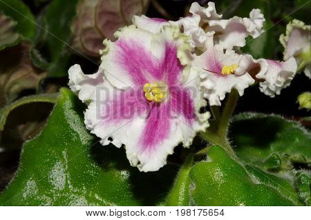 Photography Of Pink Saintpaulia Flower With Green Leaves