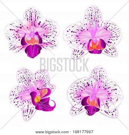Beautiful purple and white Orchid Phalaenopsis flower vintage set first vector closeup illustration editable hand draw