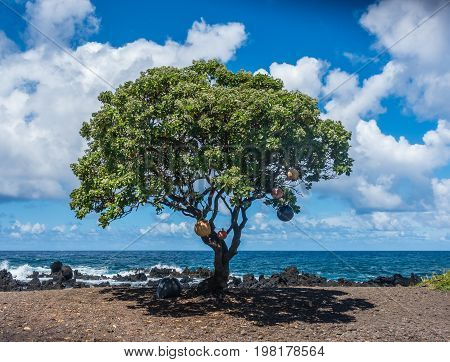 Buoys hang from a tree at Keanae Point on Maui Hawaii.