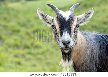 African dwarf goat looking into the camera.