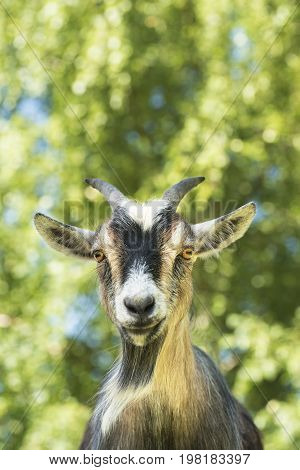 Portrait of an African dwarf goat looking into the camera.