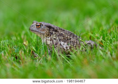 Mating Frog Sitting  In The Dewy Grass