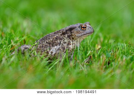 Sleepy mating frog sitting in the dewy grass