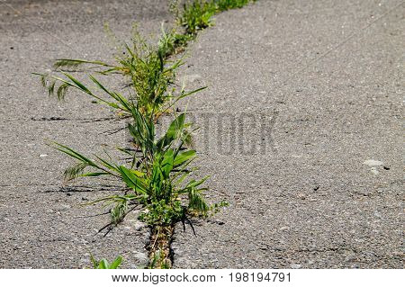 Green Plants Growing In Cracked Asphalt Road Texture