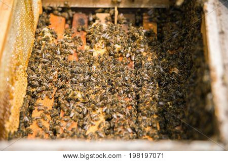 Many bees in an open hive in the hive half of the frames with honeycombs and honey are removed
