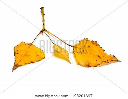 Poplar Twig With Yellow Autumn Leaves
