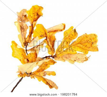 Yellow Dried Autumn Oak Twig And Leaves