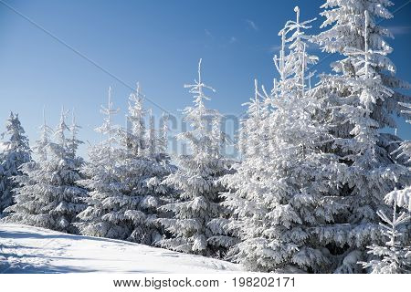 Snowy Branches Of Fir Tree And Blue Sky