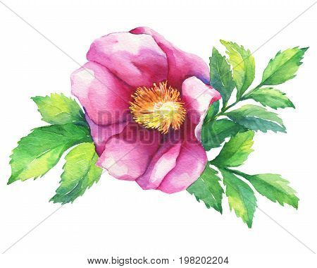 The branch flowering pink rose (names: dog rose, rosa canina, Japanese rose, Rosa rugosa, sweet briar, eglantine), isolated on white background. Watercolor hand drawn painting illustration.