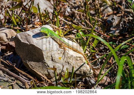 Male european green lizard lacerta viridis on a rock surrounded with twigs taking a sunbath