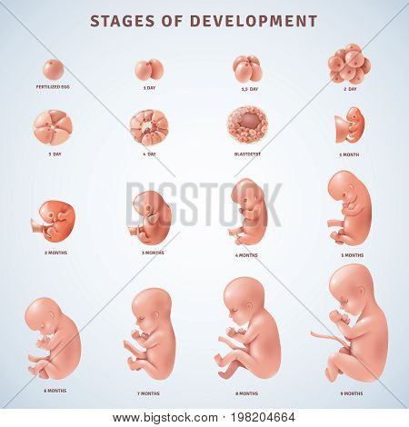 Set of isolated decorative icons showing stages of human embryonic development with period clarification in months realistic vector illustration