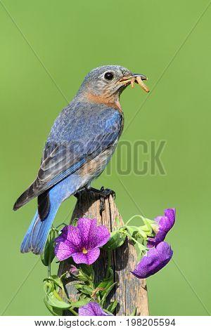 Female Eastern Bluebird (Sialia sialis) on a fence with flowers