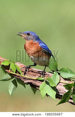 Male Eastern Bluebird (Sialia sialis) vine covered branch
