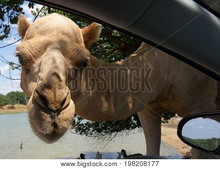 Close up of a camel's head peeking into the driver's window of a vehicle at a drive-thru zoo.