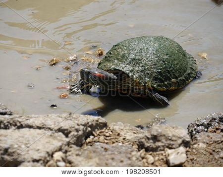 A small turtle crawls toward a rocky bank of a lake from the muddy water