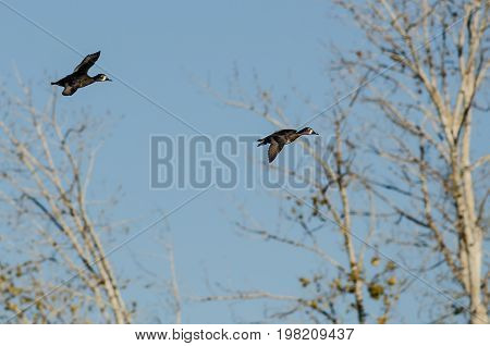 Two Ring-Necked Ducks Flying Past the Autumn Tree