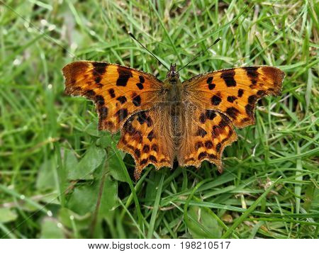 Comma butterfly resting on a grass lawn with open wings