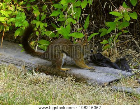 Blacktail Squirrel tugging on landscape fabric to prepare its winter nest.