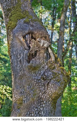 Grey squirrel up in tree next to hole in tree trunk