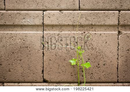 Beautiful top gourd Ivy gourd on brick wall The concept of hope.