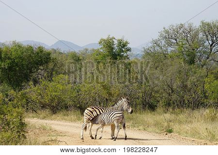 Burchell Zebra Kruger in the  National Park
