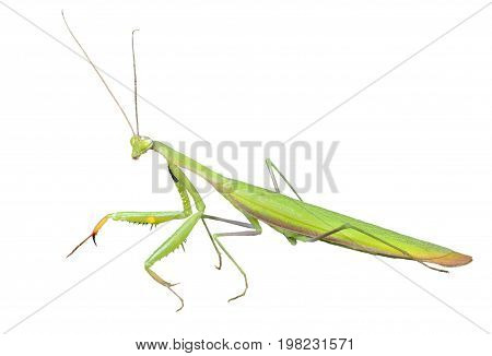 A close up of the mantis profile. Isolated on white.
