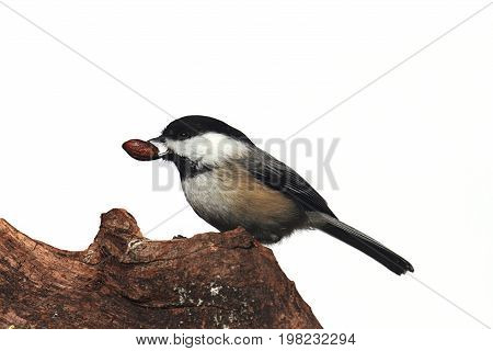 Black-capped Chickadee (poecile atricapilla) on a stump - Isolated on a white background