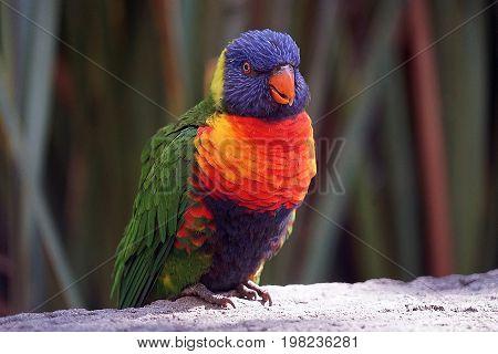 A Lorikeet Bird sitting on an branch.
