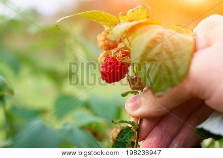 Branch Of Ripening Raspberries In The Sun's Rays Of The Setting Sun. Organic Ripe Red Raspberries On