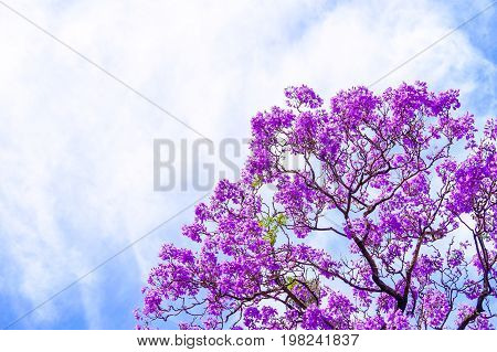 Jacaranda tree blossoms in Adelaide South Australia
