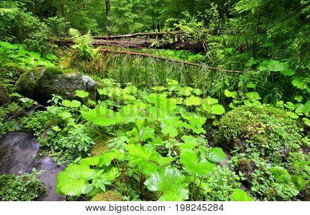 Wild forest in the National park Sumava, Czech Republic.