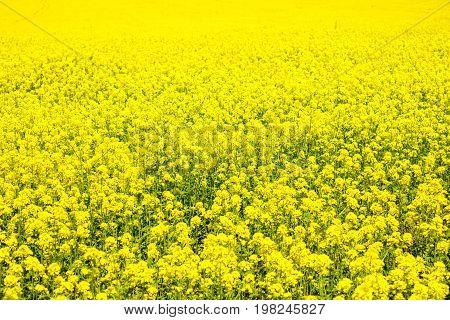 canola field, yellow flowers, oil, biofuel, field of flowers