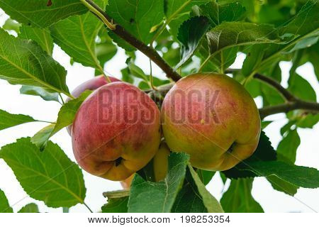 unpicked fresh organic red and green apples with natural leaves background