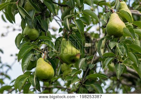 unpicked fresh organic green unripe pears with natural leaves background