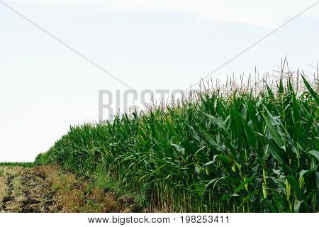 unharvested organic green corn field - countryside agriculture