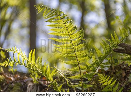 sunny illuminated fern leaves in forest ambiance