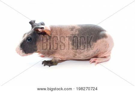 Cute skinny guinea pig baby with big ears isolated on white (side view)