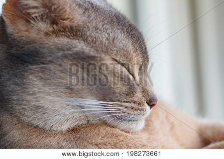Head Of Sleeping Young Abyssinian Cat Closeup