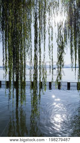 Branches Of Weeping Willow Growing On The Coast