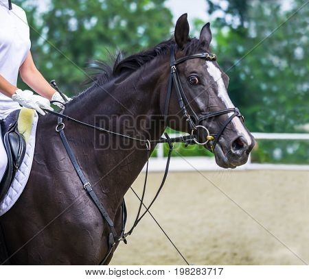 Glossy black horse portrait during dressage competition. Equestrian sport background. Dressage bay horse and rider in white uniform.