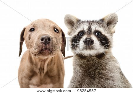 Portrait of a funny pit bull puppy and raccoon, closeup, isolated on white background
