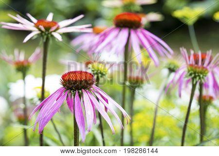 Blooming Echinacea Purpurea on natural green background. Medicinal Herbs