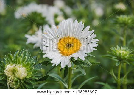 Flowers On A Bed. White, Beige Flowers In A Garden.