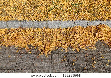 Ginkgo Leaves, Japan