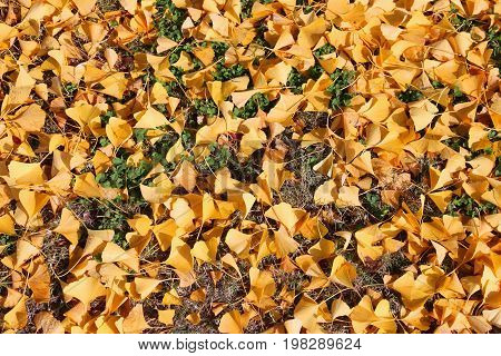 Japan Ginkgo Leaves