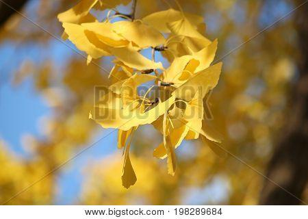 Ginkgo Autumn Leaves